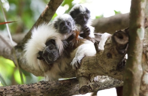 cotton-top-tamarins